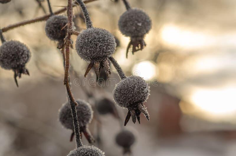 几种野玫瑰果结冰的垂悬 免版税图库摄影