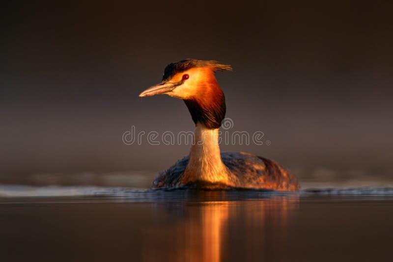 凤头灰蝶,波迪克普斯的雏鸟,坐在巢穴上筑巢的时间,在深绿的湖上,在大自然中的鸟 免版税图库摄影