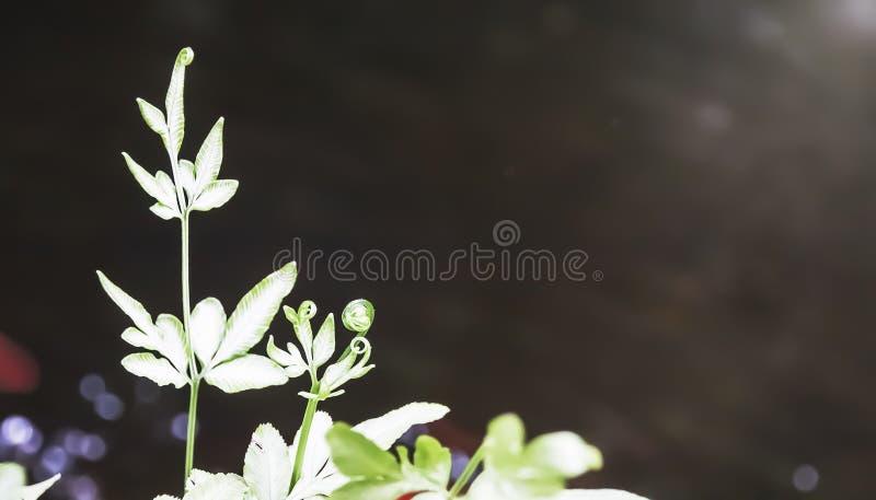 凤尾蕨属ensiformis,剑闸蕨,银色碎米蕨类 库存图片