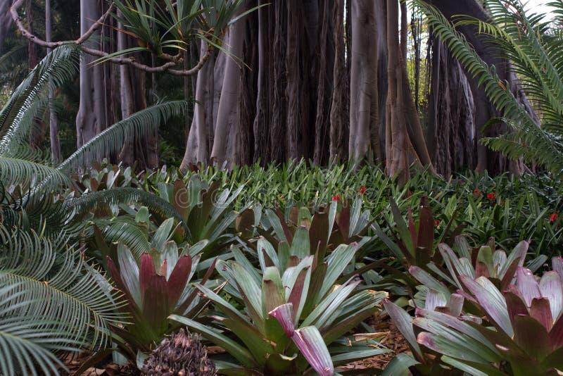凤梨科植物和榕属接近的照片 anchient植物 宏观凤梨科,绿色和伯根地