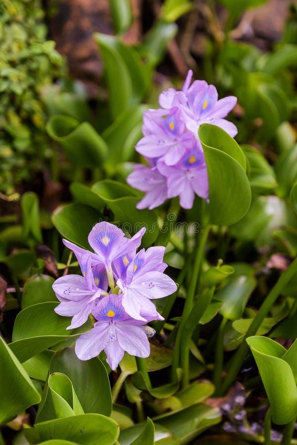 凤眼兰,与紫色易碎的瓣的杂草 库存图片