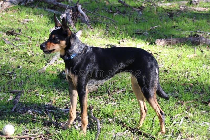 凯尔派狗 免版税库存照片
