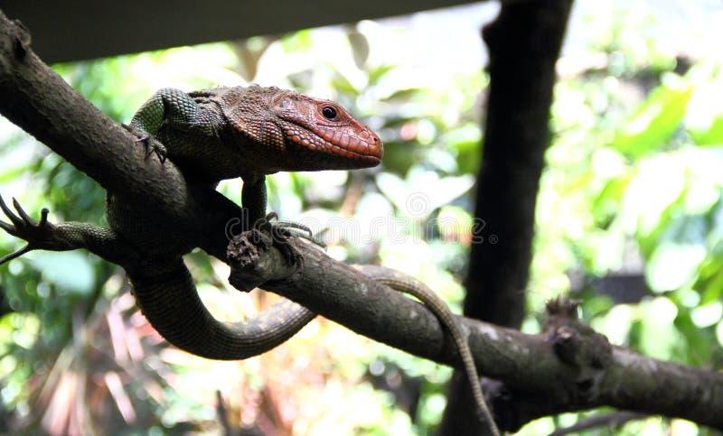 凯门鳄蜥蜴在分支站立 免版税库存图片