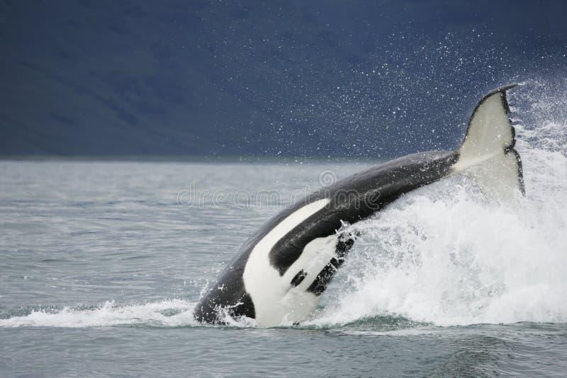 凶手尾标鲸鱼 库存照片