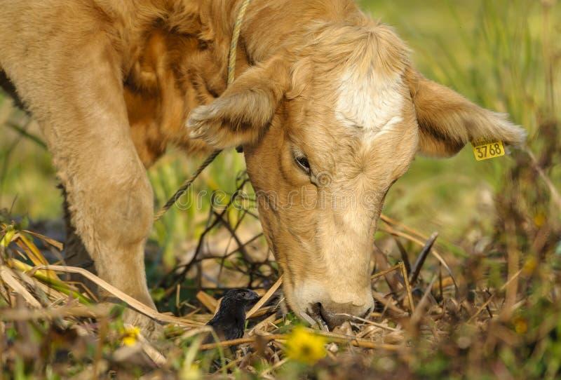 凹线开帐单的美洲黑杜鹃和母牛 库存图片