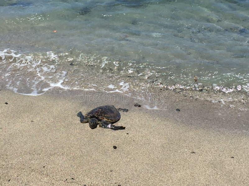 从水出来的一只美丽的乌龟 免版税图库摄影