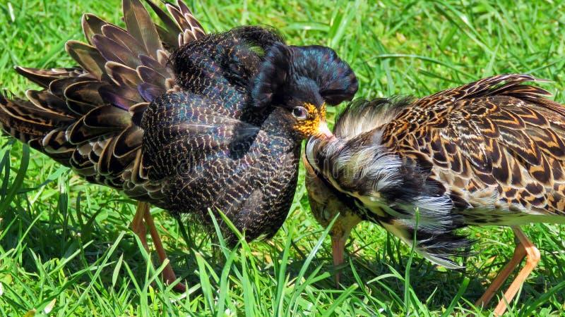 出王牌鸟Calidris pugnax 库存照片