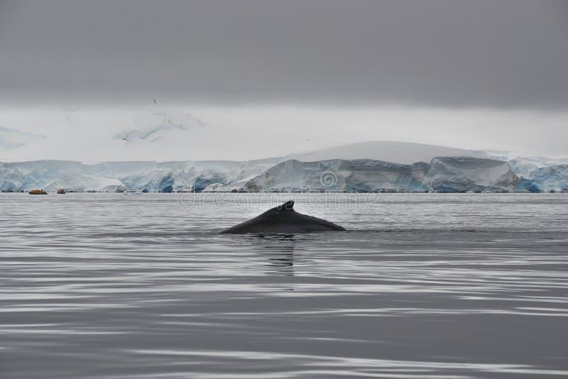 出现在水中的鲸鱼的飞翅 图库摄影