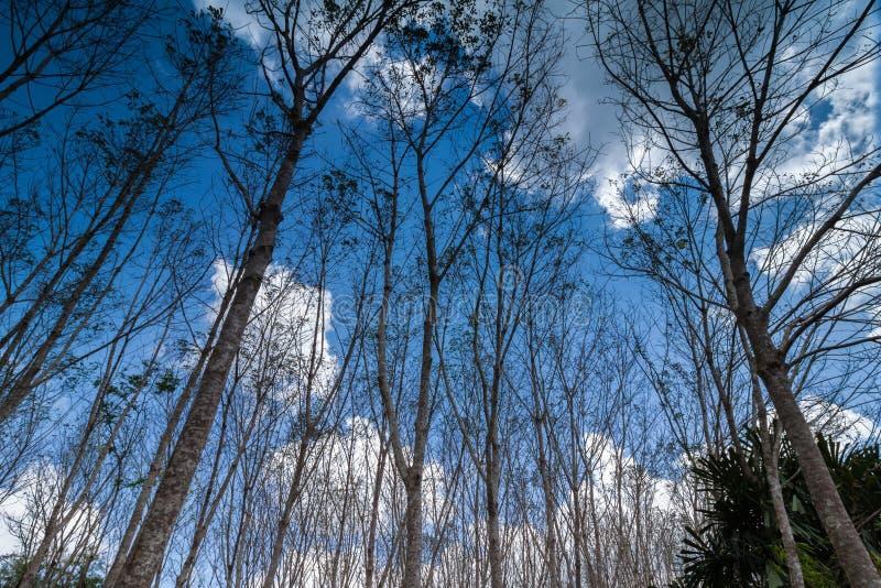 出现橡胶树看法,与蓝天和云彩 免版税图库摄影