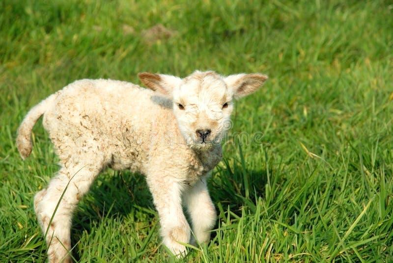 出生羊羔新的春天 库存图片