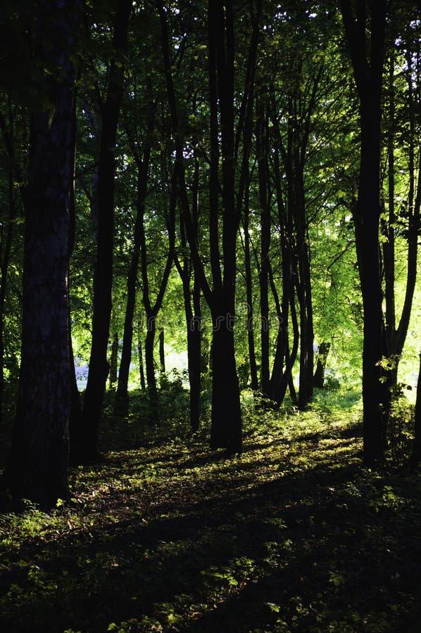 击穿入绿色森林的阳光 库存图片