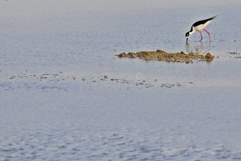 刀匠海湾沼泽地的鸟  免版税库存图片