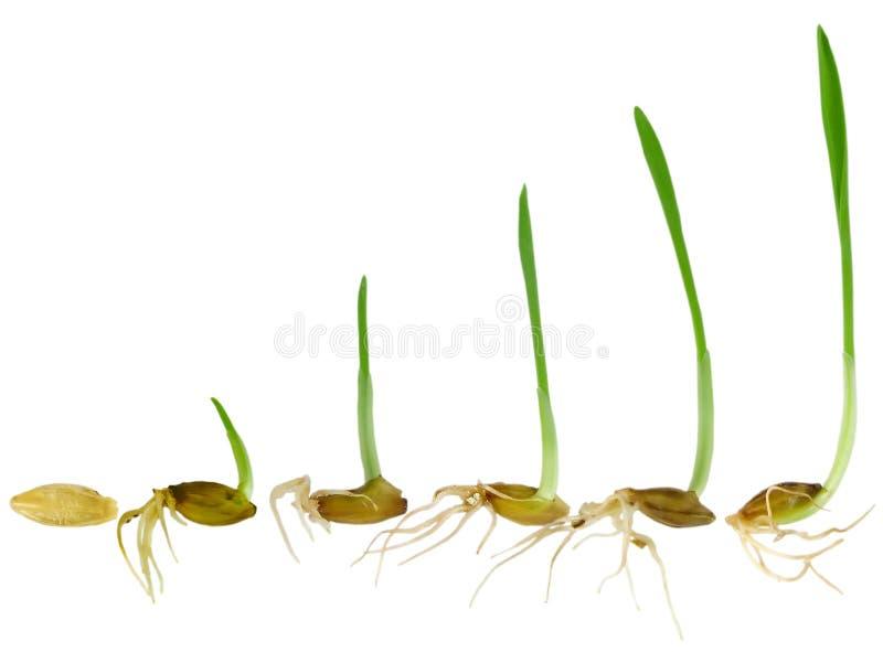 刀片草增长注意 免版税图库摄影