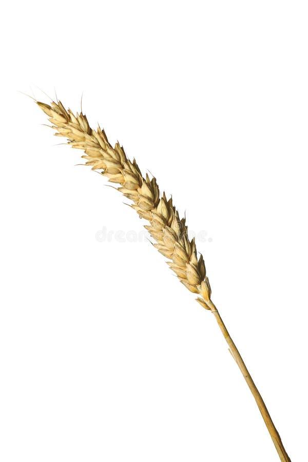 刀片麦子 库存照片