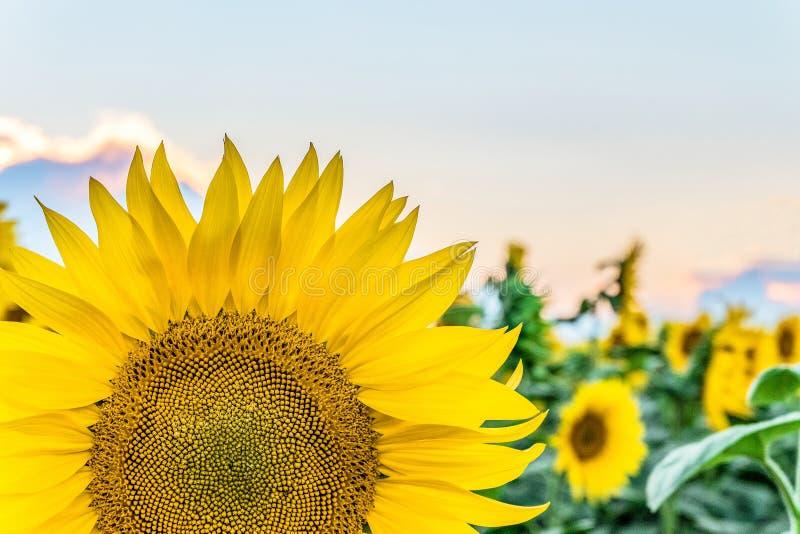 分割在领域背景的明亮的开花的向日葵特写镜头 库存照片