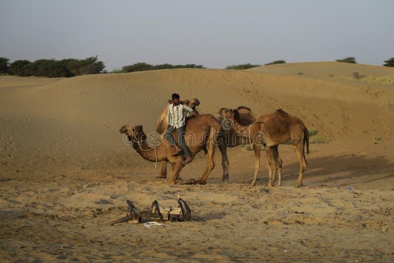 分发在塔尔沙漠的骆驼在Jaisalmer印度附近 免版税库存图片