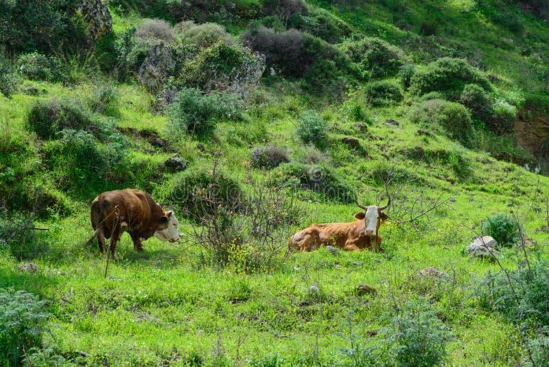分发在自然的母牛 库存图片