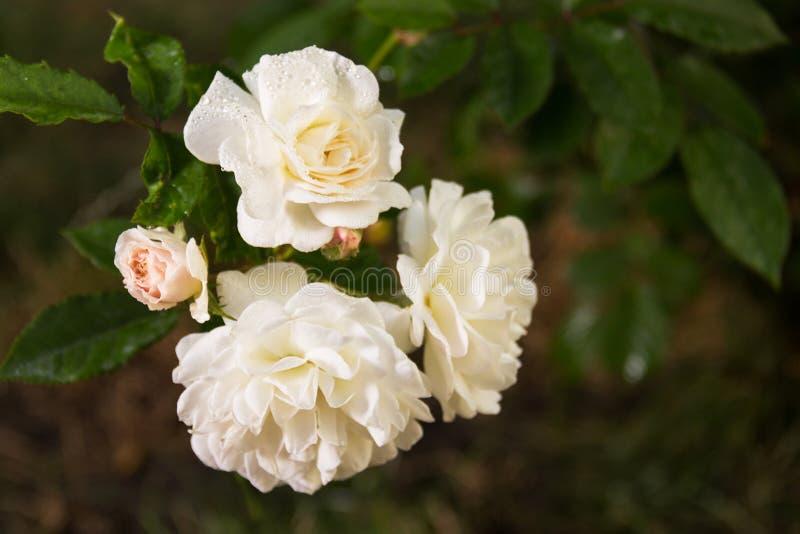 分支与与露水下落的白玫瑰在绿草背景的  与露水的白玫瑰在自然本底 库存照片