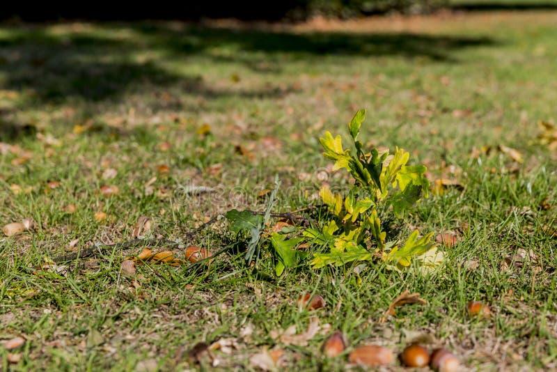 分支与叶子和橡子在草在一秋天天 库存照片