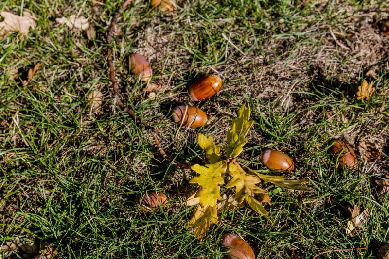 分支与叶子和橡子在草在一秋天天 库存图片