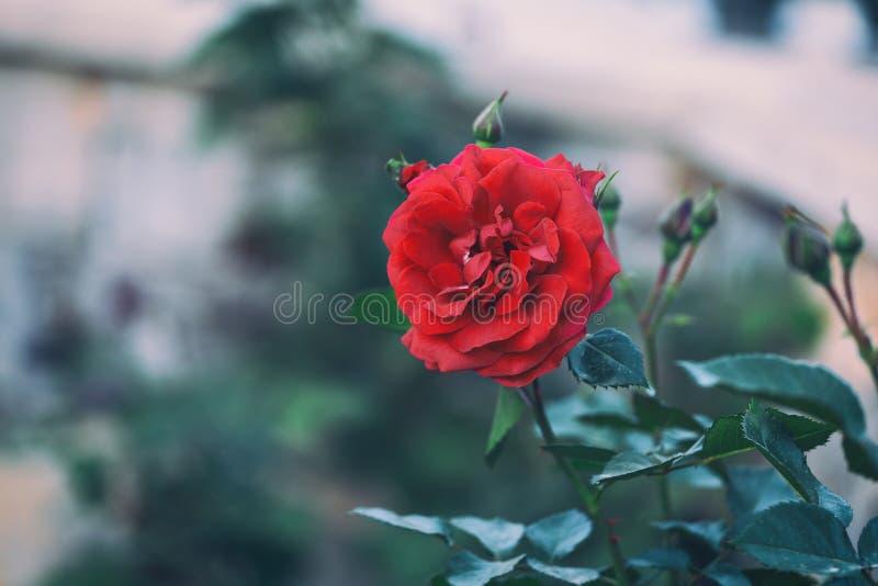 分支与在哥特式样式的红色花 免版税图库摄影