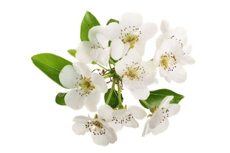 分支与在白色背景隔绝的梨花 顶视图 平的位置 免版税图库摄影