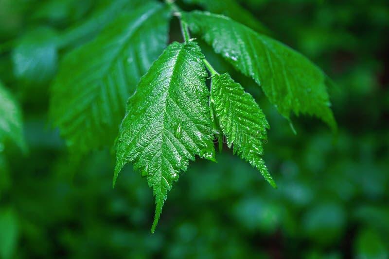 Download 分支与在雨水滴的叶子 库存照片. 图片 包括有 叶子, 醉汉, 宏指令, 生气勃勃, 照亮, 森林, 特写镜头 - 72353824