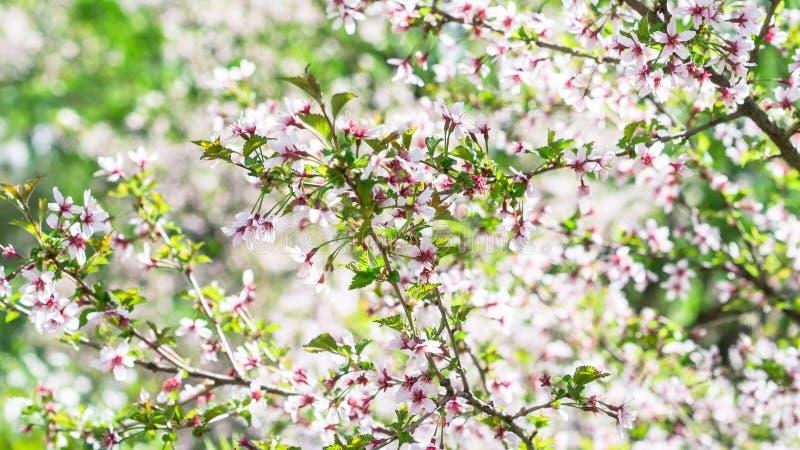分支与开花佐仓 与桃红色的丰富的开花的灌木在春天发芽樱花 李属incisa花  库存图片