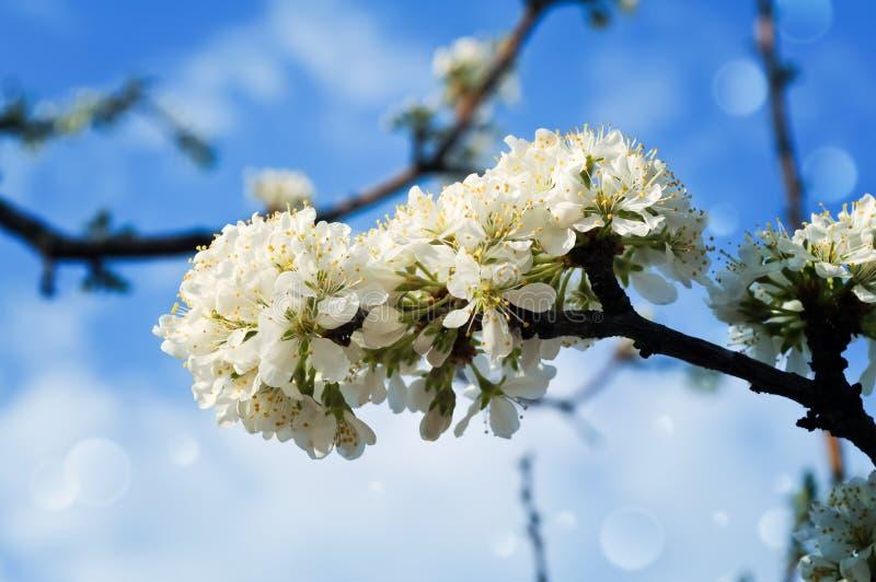 分支与开花的洋李反对天空 库存照片