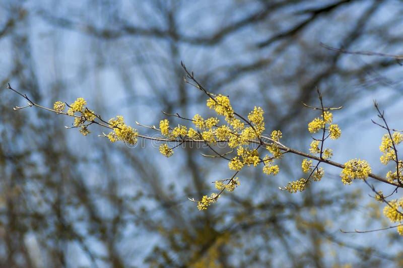 分支与新鲜的芽,并且cornel树或萸肉mas绽放在庭院里开花特写镜头 免版税库存照片