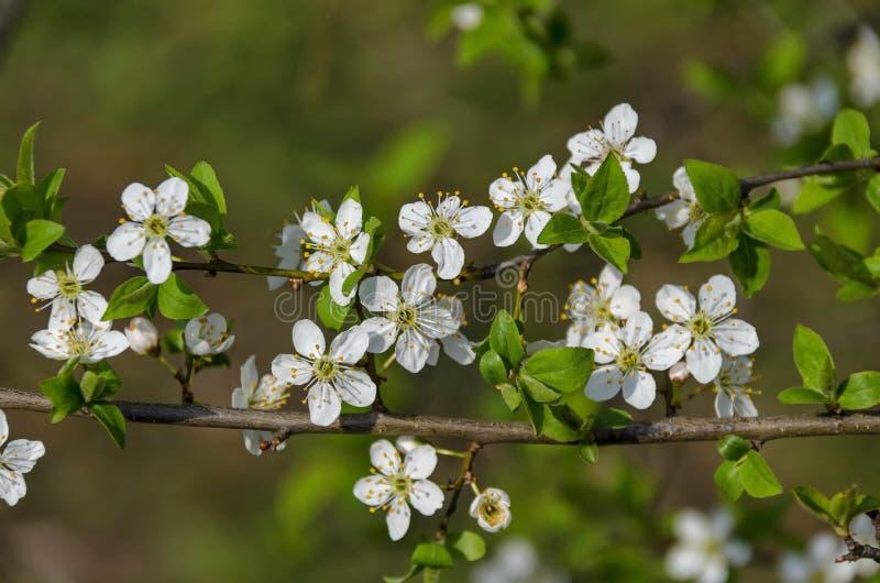 分支与狂放的李子树花特写镜头新绽放在庭院,索非亚里 免版税库存照片