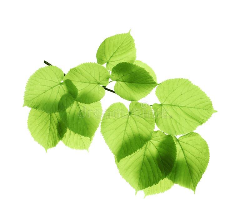 分支与绿色叶子 免版税库存图片