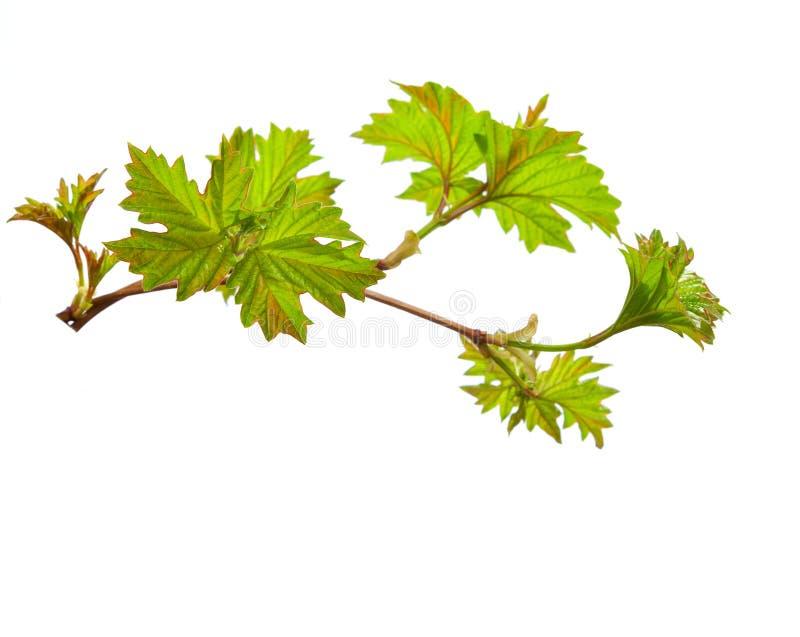 分支与年轻绿色春天叶子 免版税库存照片