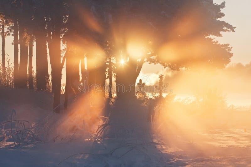 分支冷杉雪树型视图冬天 图库摄影