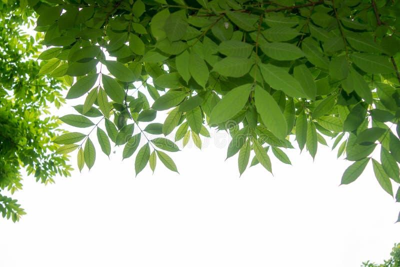 分支和叶子是绿色的在白色背景 免版税库存图片