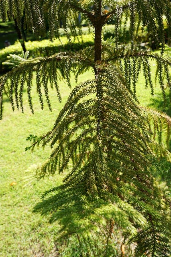 分支和叶子杉树软的焦点早晨 免版税库存图片