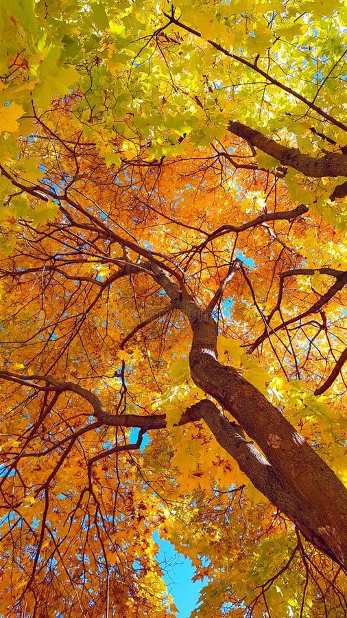 分支和树干与秋天槭树明亮的黄色和绿色叶子反对蓝天背景 底视图 库存照片