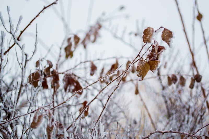 分支和用霜盖的叶子 免版税库存图片