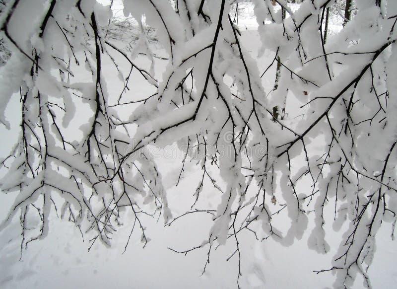分支和白色雪 免版税库存图片