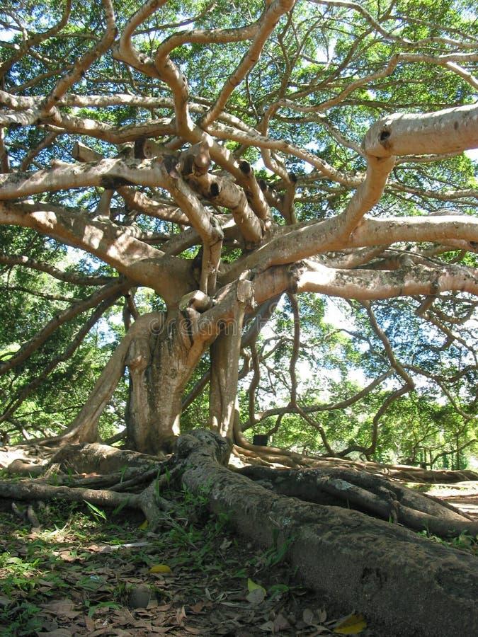 分支图巨型javan根结构树 免版税库存照片