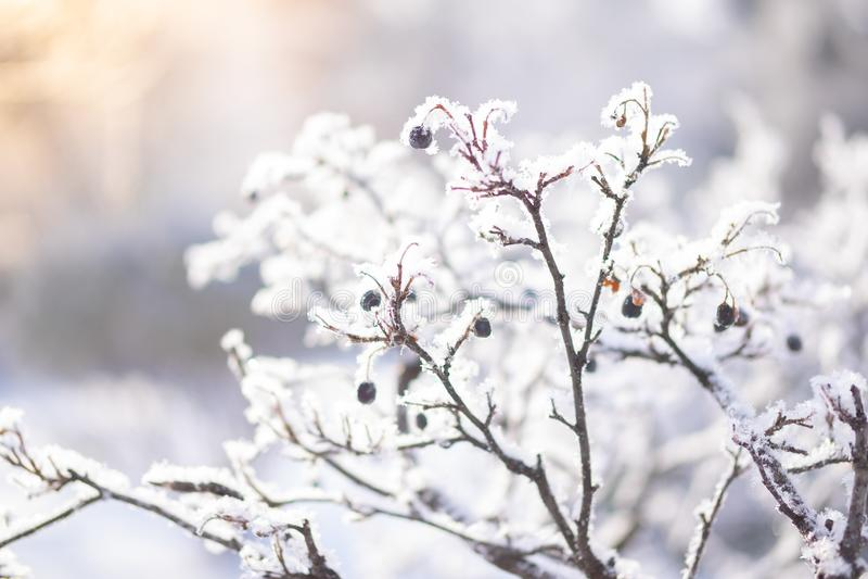 分支在冰冷的白色霜包括在冬天 第一霜、霜和树冰 库存照片