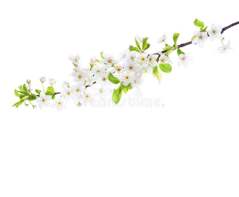 分支在白色背景隔绝的开花 樱桃李子 库存照片