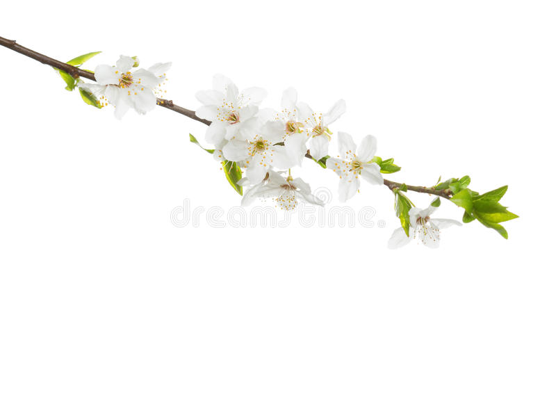 分支在白色背景隔绝的开花 库存照片