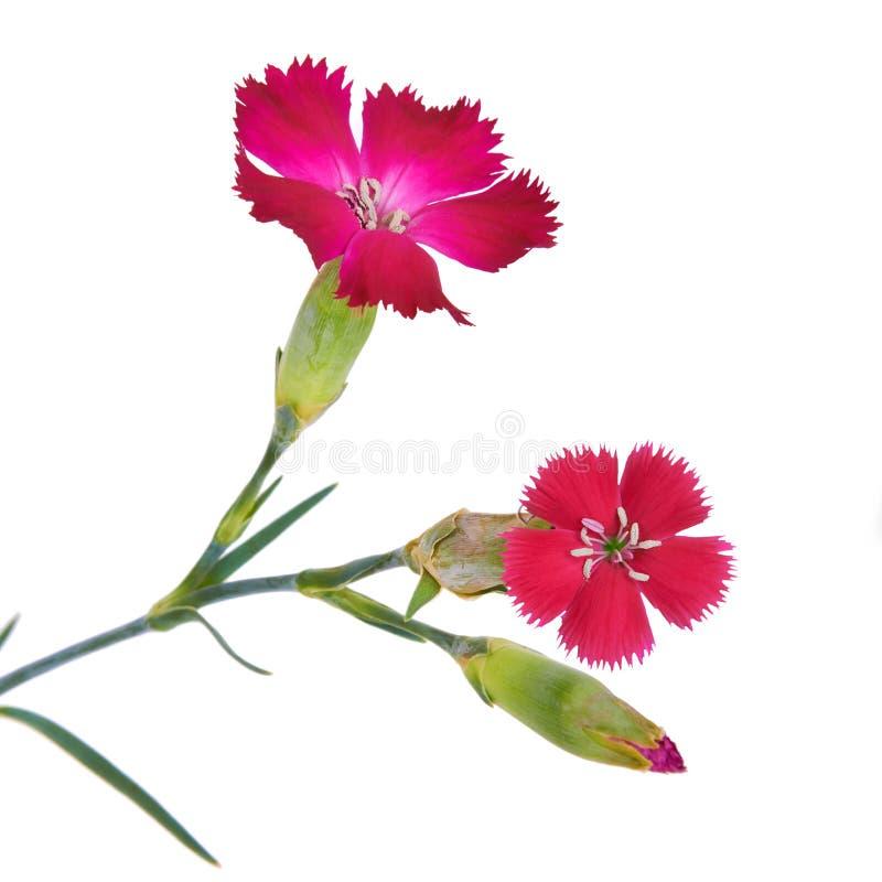 分支康乃馨花绯红颜色 库存照片