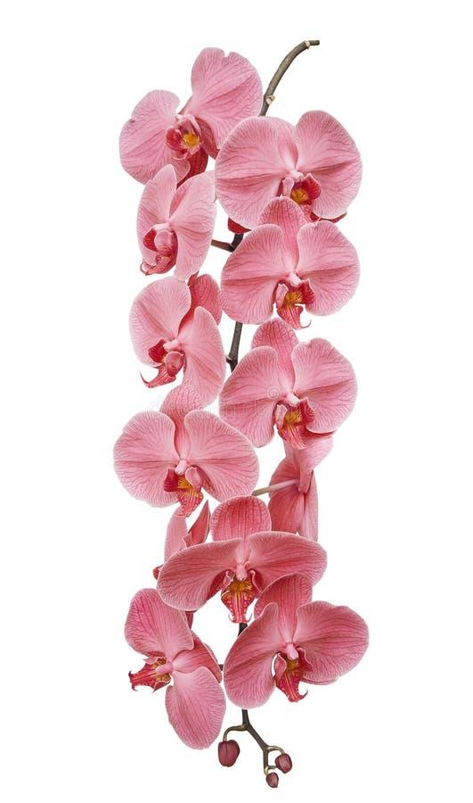 分支开花的兰花,隔绝在白色背景 库存照片
