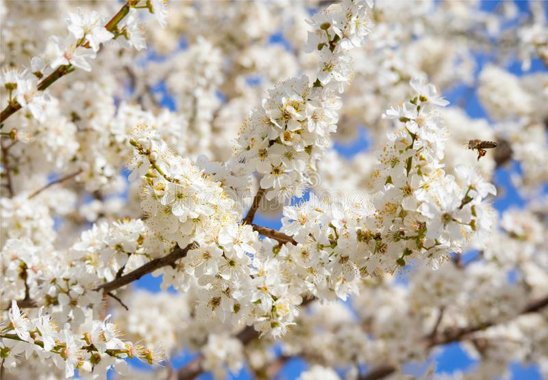分支开花的果树樱桃树特写镜头照片  免版税库存图片