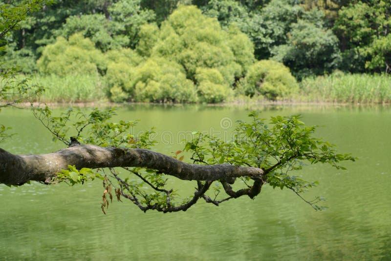 Download 分支是倾斜的在森林湖的表面 库存照片. 图片 包括有 保护, 结构树, 的treadled, 夏天, 横向 - 72361854