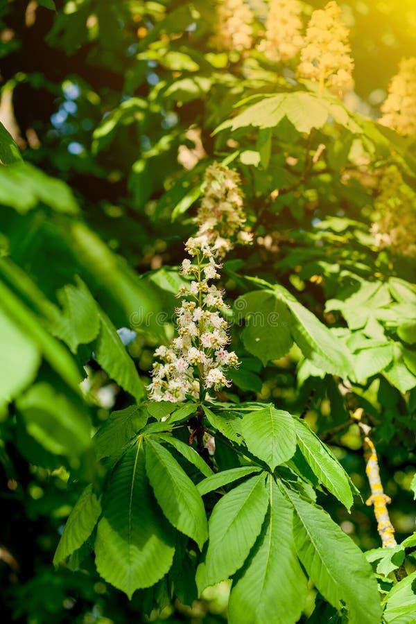 分支栗子特写镜头 白色栗子花被拍摄以豪华的绿色叶子为背景 库存照片