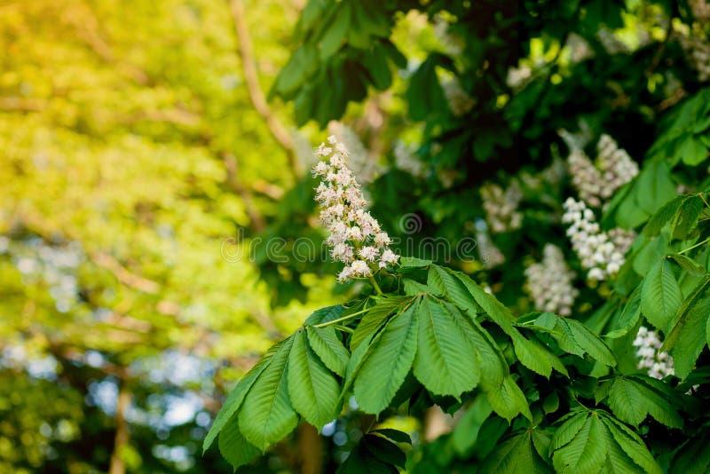 分支栗子特写镜头 白色栗子花被拍摄以豪华的绿色叶子为背景 免版税库存图片