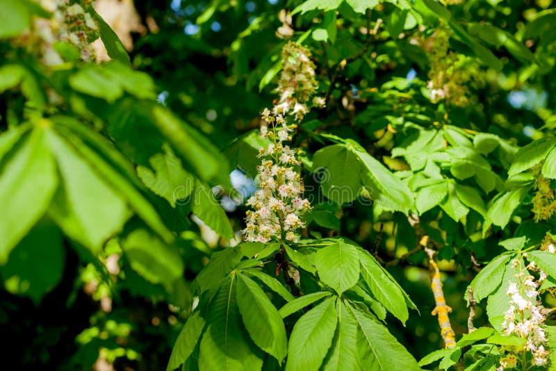 分支栗子特写镜头 白色栗子花被拍摄以豪华的绿色叶子为背景 库存图片